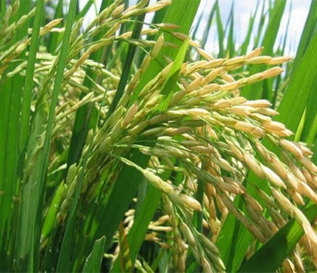 La Eurocámara respalda una resolución para que la Comisión revise las importaciones de arroz de Myanmar