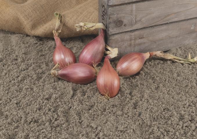 Innovator, la chalota por semilla resistente a mildiu lanoso de Bejo/DGS