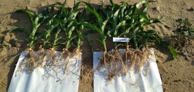 Starcover Secure, la tecnología de LG para estimular el crecimiento de las plantas de maíz, ahora con protección insecticida