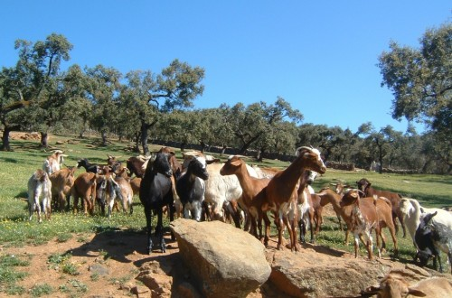 El pasado año 2020 fue bastante irregular, tirando a malo, para la producción de leche de oveja y de cabra