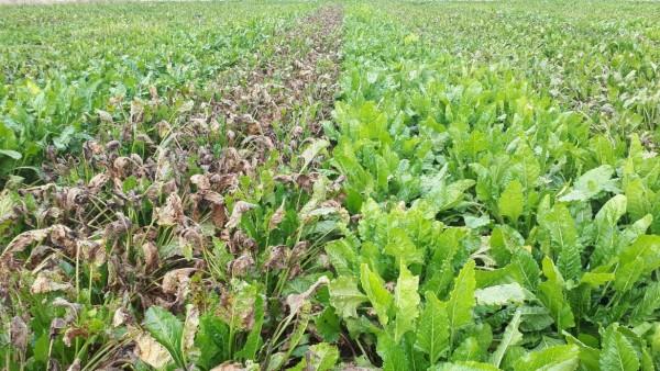 KWS recomienda sus variedades CR+ para un mejor control de la cercospora en remolacha