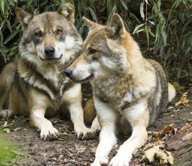 El lobo que nos separa. Por Tomás García Azcárate