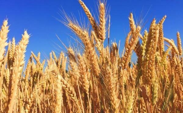La producción mundial de trigo se encamina hacia un nuevo récord en 2021