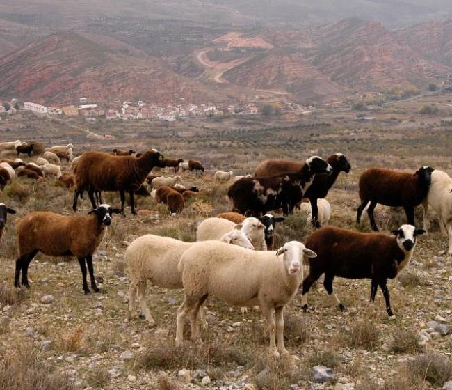 La CE declara a Andalucía oficialmente libre de brucelosis bovina y ovino-caprina