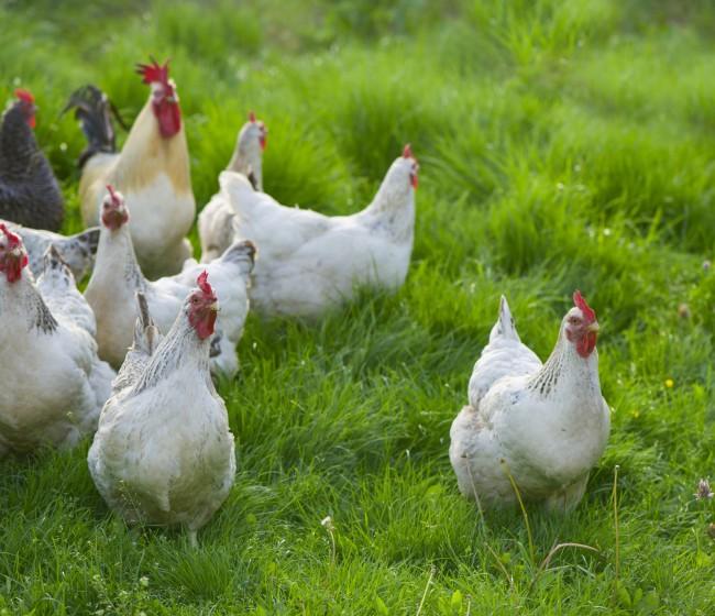 De Heus lanza una nueva gama de piensos para gallinas ponedoras