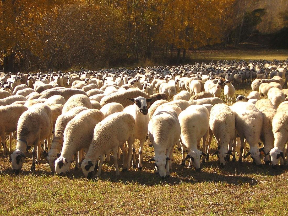 España declarada oficialmente indemne de brucelosis ovina y caprina por la UE