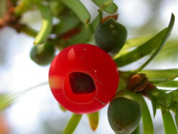 Plantas tóxicas que afectan a pequeños rumiantes