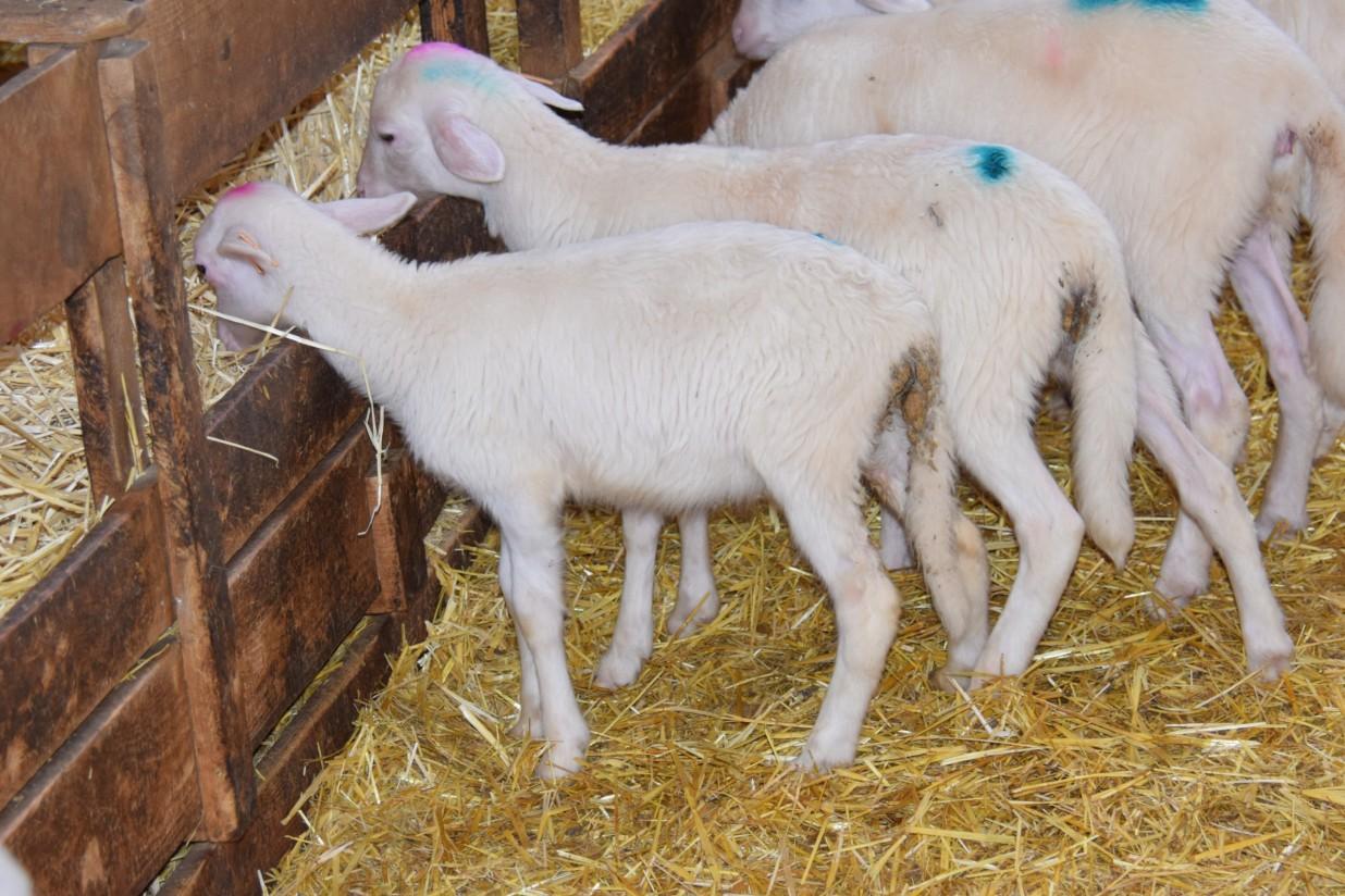 La fitoterapia: una potencial herramienta alternativa frente a la coccidiosis ovina