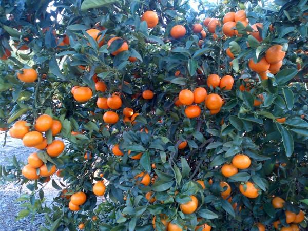 Primeras acciones legales contra productores sin licencia de la variedad Spring Sunshine