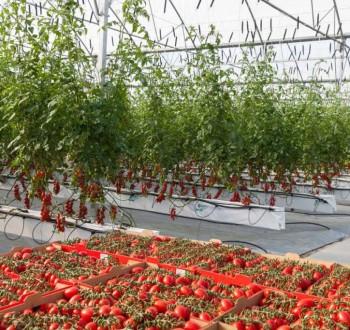 Aguilera reclama a la CE medidas para frenar la entrada masiva de tomate marroquí
