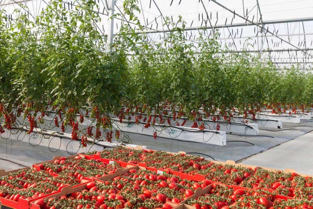 Tomates-1024×683