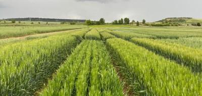 Nuevas variedades comerciales de trigo duro, triticale y avena