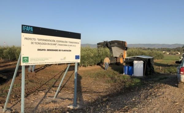 Desarrollo vegetativo y producción de diferentes diseños de plantación en olivar