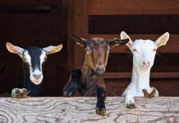 INLAC crea un grupo de trabajo para explorar salidas que aseguren la viabilidad al sector de la leche de cabra