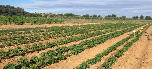 Optimización de la fertilización nitrogenada en pimiento de industria en Extremadura