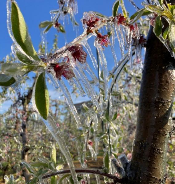Las heladas primaverales causan importantes daños en los cultivos frutícolas de la Península