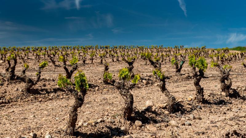 Aprobadas las medidas de flexibilización del PASVE vitivinícola del ejercicio de 2021