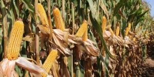Nuevas variedades de maíz para grano de los ciclos 600 y 700
