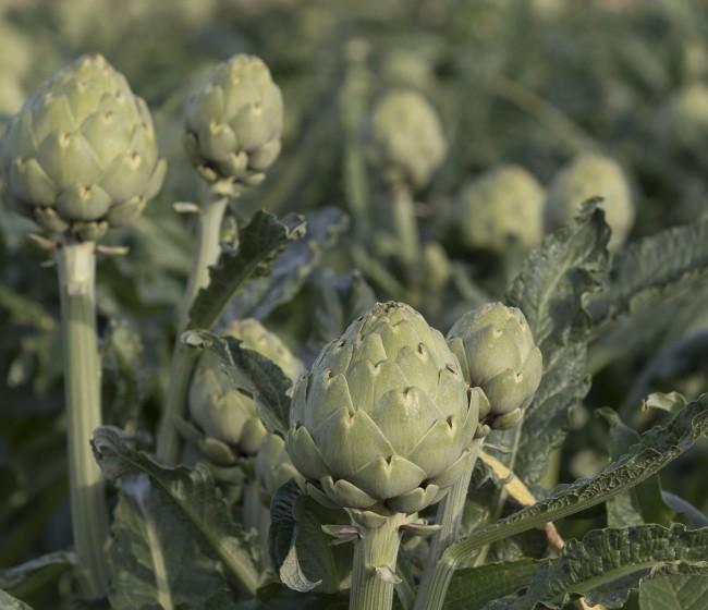La alcachofa Green Queen F1 de Basf reduce el desperdicio alimentario en el lineal