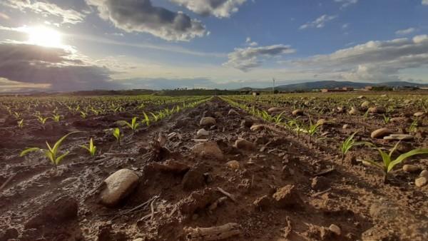 Callisto Plus y Mistral Plus, nuevos herbicidas de Syngentapara el cultivo de maíz