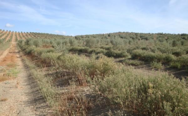 Estrategias de control de  Conyza spp. en el olivar