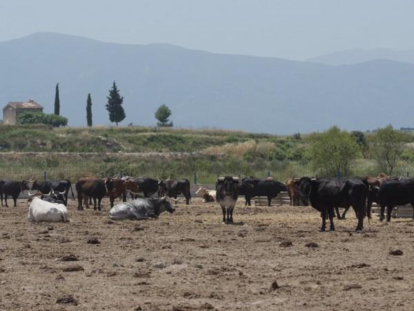 La Generalitat valenciana habilitará ayudas directas para los ganaderos de reses bravas y toros de lidia