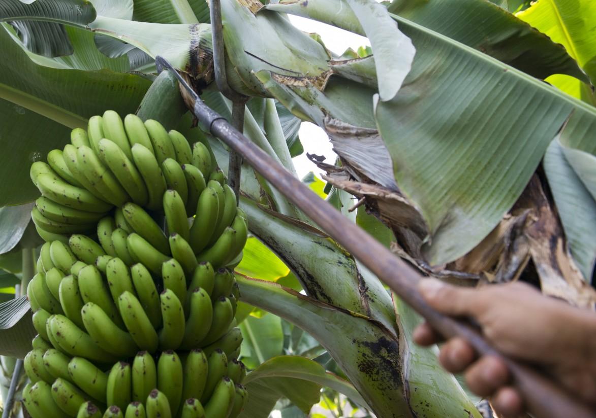 El sector insta al Gobierno canario a que defienda al plátano ante la Ley de la Cadena Alimentaria