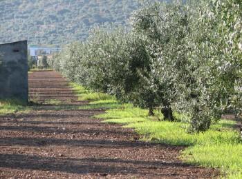 El MAPA constata el elevado ritmo de ventas y de precios firmes en el aceite de oliva en la primera mitad de 2020/21