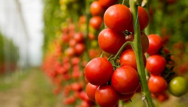 Aguilera insiste ante la CE para que revise el precio de entrada del tomate marroquí al mercado comunitario