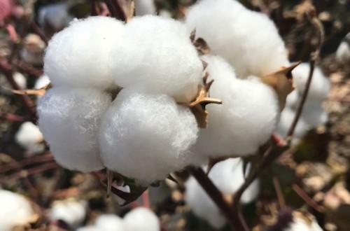 Establecido el importe definitivo del pago específico de la PAC 2020 al cultivo del algodón