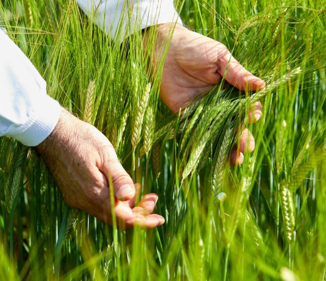 Cooperativas prevé rendimientos en el cereal superiores a la media de las últimas cuatro campañas, salvo en trigo duro