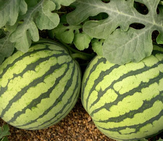 Denuncian la pésima situación del melón y la sandía en los mercados europeos