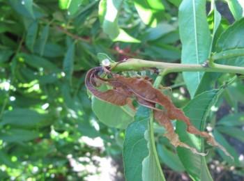 Resistencia a insecticidas en poblaciones de Grapholita molesta