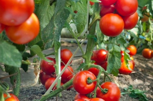 Promover el crecimiento de raíces de plantas de tomate bajo estrés nutricional y de temperatura con el uso de bioestimulantes