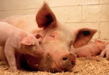Efecto del plasma porcino atomizado en la alimentación de la cerda durante el periodo periparto