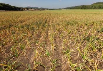 Comienza la campaña del ajo con un 7% más de superficie de cultivo y mayores existencias