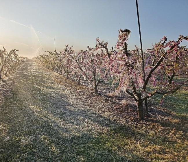 La cosecha europea de fruta de hueso será en 2021/22 la más baja de los últimos 30 años