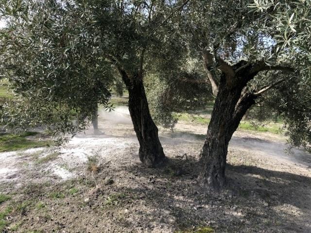 ICL pone en marcha dos proyectos para evaluar los beneficios de Polysulphate en olivar