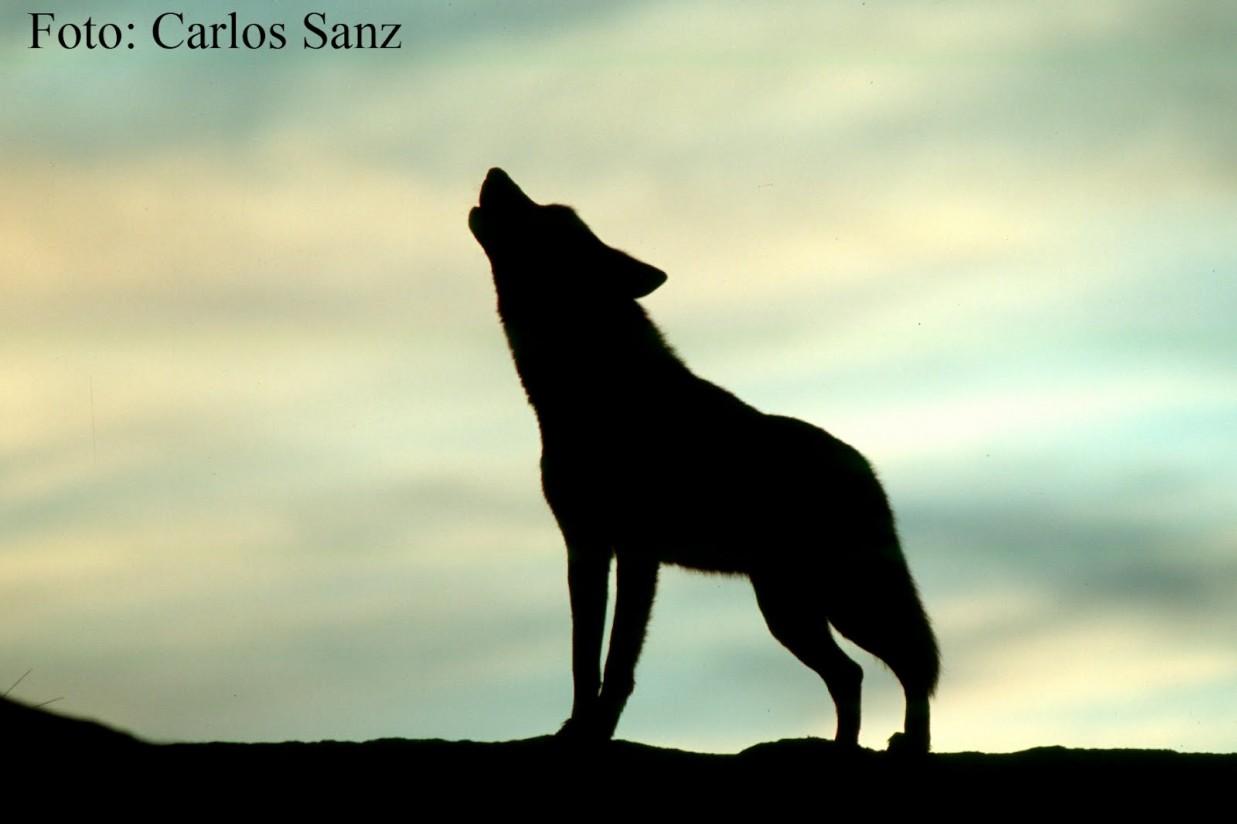 Lobo aullando, al atardecer (Foto Carlos Sanz)