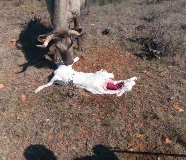 Los ingenieros agrónomos apoyan mantener el estatus de protección de lobo y su coexistencia con la ganadería extensiva