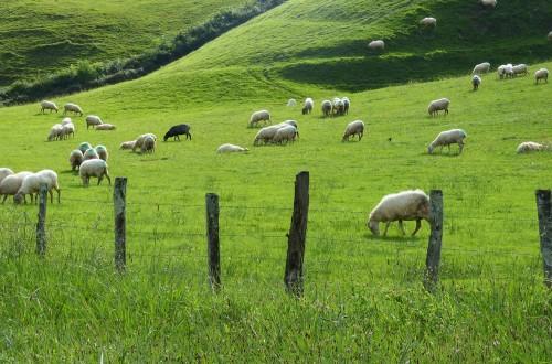 ¿Seguirá el ovino de leche los mismos pasos que el vacuno? Por José Antonio Turrado