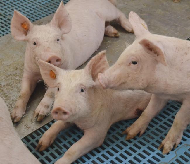 Tendencias en alojamientos porcinos. Bienestar animal y energía renovable para el futuro de la ganadería