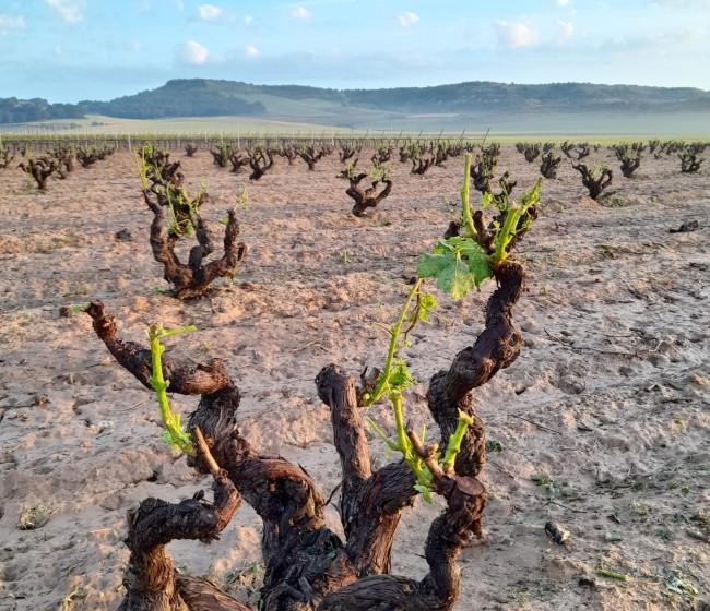 El granizo del fin de semana golpea al viñedo y a otros cultivos de la Ribera de Duero