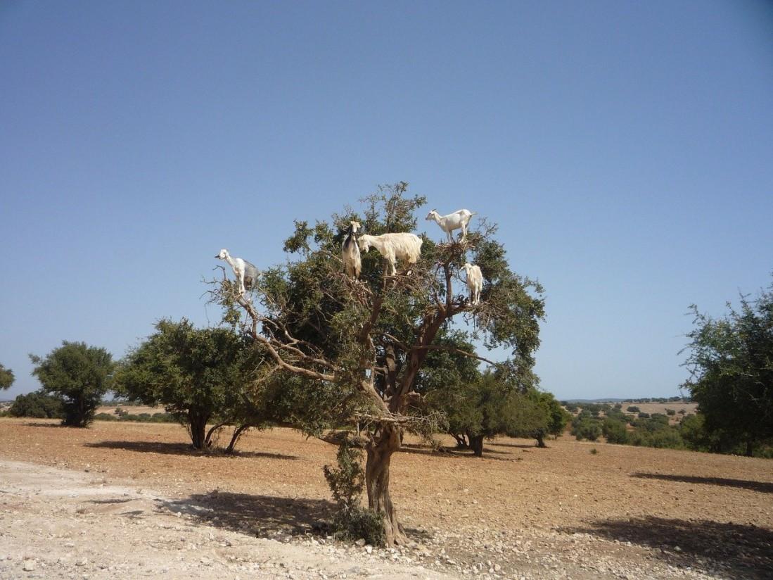 argán cabras semillas de argán venta