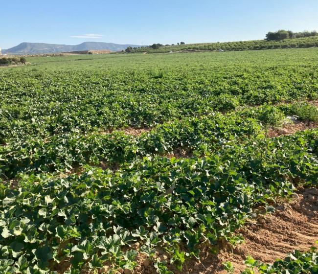 La Interprofesional de Melón y Sandía de CLM recomienda prudencia en las siembras