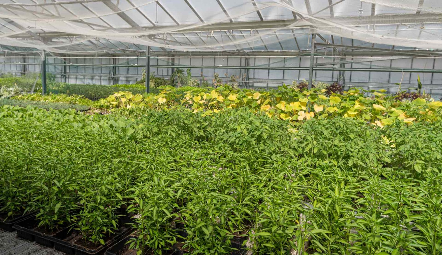 Commercial pepper seedlings in trays