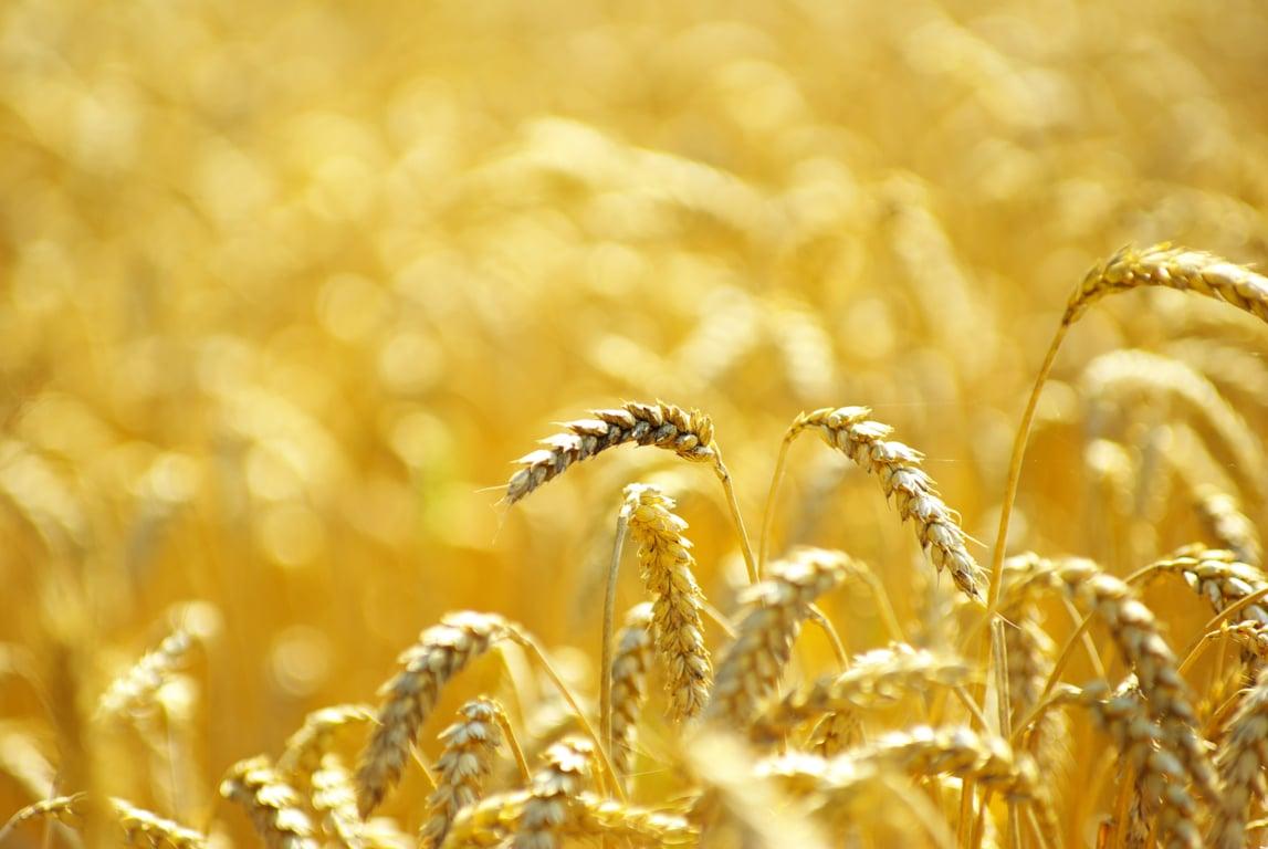 ACCOE prevé este año un 18% y 4,1 Mt de cereal de invierno menos que en la cosecha récord de 2020