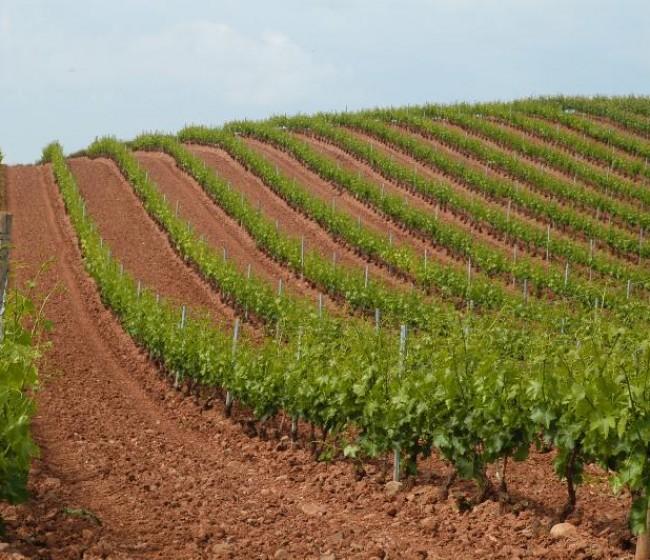 El MAPA distribuye a las CC.AA. las 945 ha autorizadas en 2021 de nueva plantación de viñedo