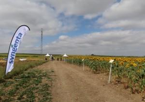 Syngenta muestra en campo su última tecnología para el cultivo del girasol