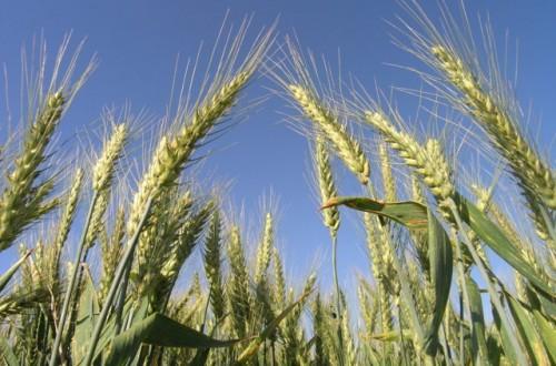 Claves para la mejora del rendimiento de los cereales